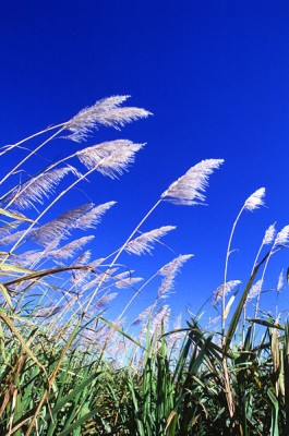 sugarcane_field